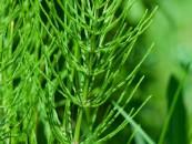 Dla włosów ekstrakt ze skrzypu i innych roślin